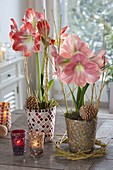 Hippeastrum 'Vera' 'Striped Beauty' (Amaryllis) in Mosaik-Toepfen