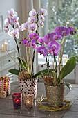 Phalaenopsis (Malayenblumen, Schmetterlingsorchideen) in Mosaik-Toepfen