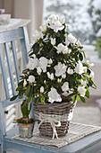 weiße Rhododendron simsii (Zimmer - Azalee) als Pyramide gezogen in Korb