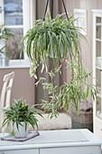 Chlorophytum comosum (Grünlilie) mit Ableger - Pflanzen in weisser Ampel