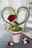 Rote Rosenblüte im Grasherz