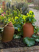 Ulting Wick, ESSEX : TERRACOTTA RHUBARB FORCERS IN SPRING