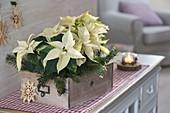 Euphorbia pulcherrima (weiße Weihnachtssterne) in alter Holz-Schublade