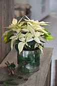 Euphorbia pulcherrima (Weisser Weihnachtsstern) in Blechdose