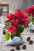 Euphorbia pulcherrima (Weihnachtsstern), Topf mit Geschirrtuch