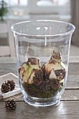 Amaryllis in Glas mit Moos und Zapfen antreiben