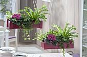 Rote Holz-Kästen bepflanzt mit Asplenium scolopendrium 'Amy'