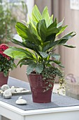 Chamaedorea metallica (Silbrige Bergpalme) unterpflanzt mit Pilea