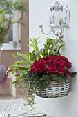 Korb bepflanzt mit Begonia 'Grace' (Begonie), Asplenium scolopendrium 'Amy'