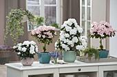 Sideboard als Raumteiler mit Rhododendron simsii (Zimmer - Azaleen)