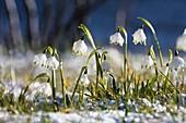 Fruehlingsknotenblumen, Märzenbecher im Schnee, Leucojum vernum, Bayern, Deutschland / Spring Snowflakes in snow, Leucojum vernum, Bavaria, Germany