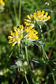 Wundklee, Anthyllis vulneraria, Bayern, Deutschland