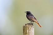 Hausrotschwanz Männchen, Phoenicurus ochruros, Bayern, Deutschland / Black Redstart, male, Phoenicurus ochruros, Bavaria, Germany