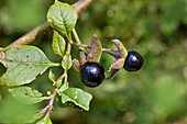 Tollkirsche fruchtend, Atropa belladonna, Bayern, Deutschland / Belladonna fruits, Atropa belladonna, Bavaria, Germany