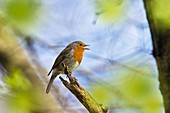 Rotkehlchen singt, Erithacus rubecula, Bayern, Deutschland / Robin singing, Erithacus rubecula, Bavaria, Germany