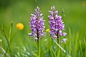Salep, Helmknabenkraut, Orchis militaris, Bayern, Deutschland / Marsh Orchid, Orchis militaris, Bavaria, Germany