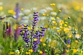 Blumenwiese mit Wiesensalbei, Salvia pratensis, und Hahnenfuss, Ranunculus acris, Oberbayern, Deutschland / blooming meadow with Salvia pratensis and Ranunculus acris, Upper Bavaria, Germany
