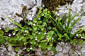 Zimbelkraut, Cymbalaria muralis, Linaria muralis, Österreich / Kenilworth Ivy, Cymbalaria muralis, Linaria muralis, Austria