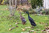 Indische Laufenten in Garten, Paar, Männchen, Weibchen, Anas spec., Bayern, Deutschland / Indian Runner Ducks in garden, pair, Anas spec., Bavaria, Germany