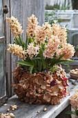 Hyacinthus 'Gipsy Queen' (Hyazinthen) in Topf beklebt mit Zwiebelschalen