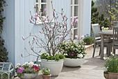 Magnolia fraseri 'Georg Henry Kern' (Magnolie) unterpflanzt mit Bellis