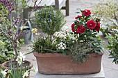 Terracottakasten mit Camellia japonica (Kamelie), Rosmarin - Staemmchen