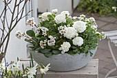 Weiss bepflanzte Fruehlingsschale : Bergenia cordifolia 'Silberlicht' (Bergenie