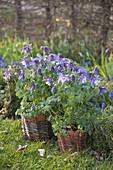 Aquilegia caerulea 'Blue Star' (Akelei) in Toepfen mit Weidengeflecht