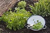 Brunnenkresse (Nasturtium officinale) im Garten ernten