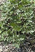 Scharfer Hahnenfuß (Ranunculus acris) verbreitet sich sehr stark
