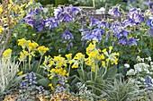 Aquilegia caerulea 'Blue Star' (Akelei) , Primula veris (Schluesselblumen