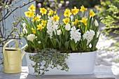 Gelb-weiss bepflanzte Metall-Jardiniere : Hyacinthus 'White Pearl' (Hyacinthen