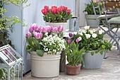 Tulipa 'Early Glory' rosa , 'Calgary' weiss , 'Red Paradise' rot (Tulpen), Ara
