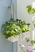 Kleiner Spankorb mit Salat-Pflanzen (Lactuca) und Erdbeeren (Fragaria)