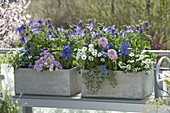 Graue Kästen blau-rosa bepflanzt : Aquilegia Spring Magic 'Navy White'