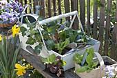 Gemüse - Jungpflanzen im Holzkorb zum auspflanzen ins Gemüsebeet