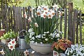 Narcissus 'Accent' (Narzissen), Viola cornuta 'White' (Hornveilchen), Bellis