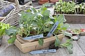 Jungpflanzen von Blumenkohl, Brokkoli und Weissskraut (Brassica)