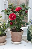 Camellia japonica 'Adolph Andersson'