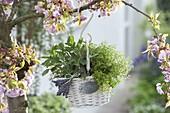 Körbchen mit Salbei (Salvia officinalis) und Zitronenthymian