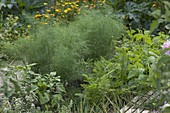 Gemüsebeet mit Fenchel (Foeniculum), Karotten, Möhren (Daucus carota