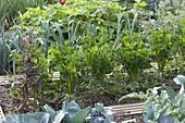 Knollensellerie (Apium graveolens), durchgeschossener, blühender Salat