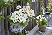 Korbkasten mit Primula acaulis 'White' (Fruehlingsprimeln) und Bellis