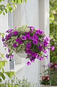 Korb - Ampel mit Petunia Calimero 'Purple' (Petunie) und Pelargonium