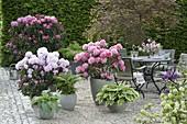 Schattenterrasse mit Rhododendron (Alpenrosen), Hosta