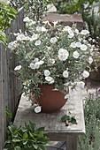Convolvulus cneorum (Silberwinde) auf Bank am Zaun