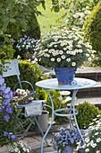 Argyranthemum 'Stella 2000' (Margerite) im handgetoepferten Übertopf