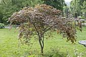 Acer palmatum 'Omurayama' (Japanischer Fächerahorn) im Rasen