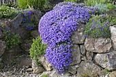 Aubrieta 'Blaumeise' (Blaukissen) ueberwaechst eine Trockenmauer
