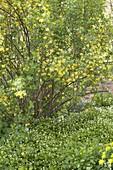 Waldmeister (Galium odoratum) als Bodendecker unter Ribes aureum